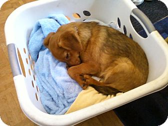 Pomeranian/Beagle Mix Puppy for adoption in Grand Rapids, Michigan - Buddy