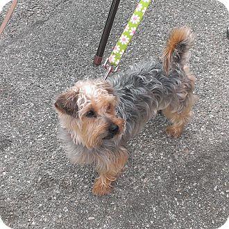Yorkie, Yorkshire Terrier Mix Dog for adoption in Santa Monica, California - Precious