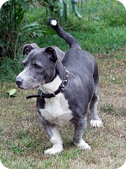 English bulldog great dane mix