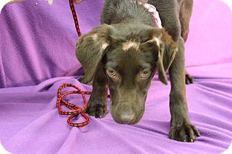 Labrador Retriever Mix Puppy for adoption in Broomfield, Colorado - Merlot