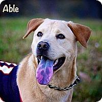 Adopt A Pet :: Able - Albany, NY