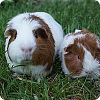 Adopt A Pet :: Cadence & Abby - Brooklyn Park, MN