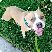 Adopt A Pet :: Ruxpin - Huntington Beach, CA