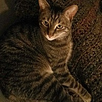 American Shorthair Cat for adoption in Los Angeles, California - LEV - COURTESY