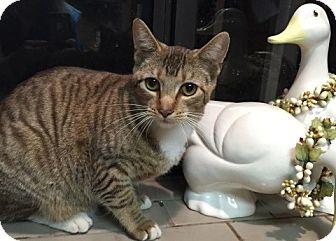 Domestic Shorthair Cat for adoption in Sacramento, California - Angel