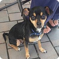 Adopt A Pet :: Dex - Garwood, NJ