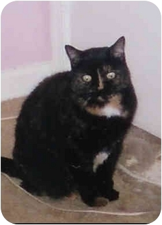 Domestic Shorthair Cat for adoption in Germantown, Maryland - SUZI Q