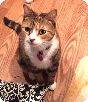 Domestic Shorthair Cat for adoption in Staten Island, New York - Cibeles