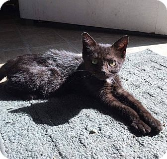 Domestic Shorthair Kitten for adoption in Macomb, Illinois - Mrs Cutie Pants