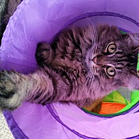 Domestic Mediumhair Cat for adoption in Upland, California - Chubbs