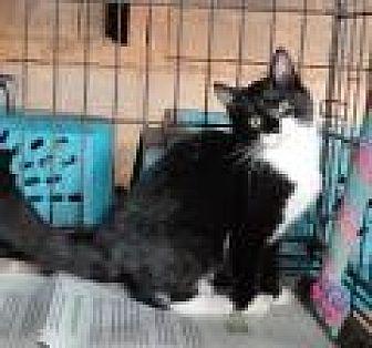 Domestic Longhair Kitten for adoption in Stuart, Virginia - Luke