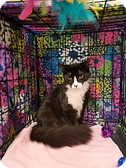 Domestic Shorthair Cat for adoption in Houston, Texas - Sissy