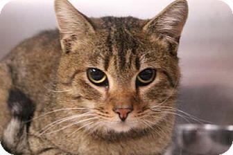 Domestic Shorthair Cat for adoption in Daytona Beach, Florida - Spicy
