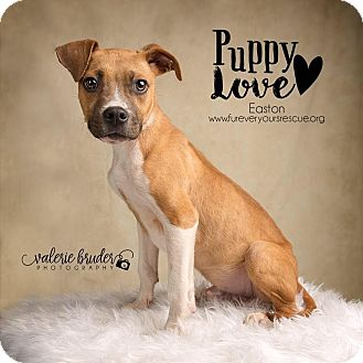 Boxer/American Pit Bull Terrier Mix Puppy for adoption in Hatfield, Pennsylvania - Professor