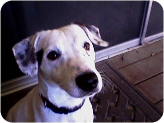 Jack Russell Terrier Dog for adoption in Rancho Cordova, California - Harley