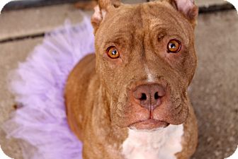 Terrier (Unknown Type, Medium)/American Staffordshire Terrier Mix Dog for adoption in Troy, Michigan - Catalina