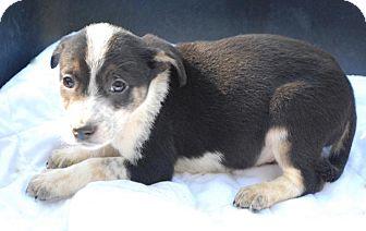 German Shepherd Dog/Australian Shepherd Mix Puppy for adoption in Media, Pennsylvania - Zippo