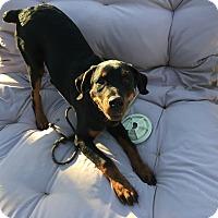 Adopt A Pet :: Cole - Gilbert, AZ