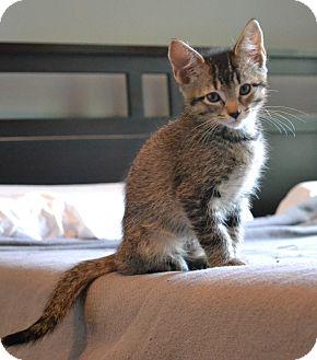 Domestic Shorthair Kitten for adoption in Marietta, Georgia - Bowie