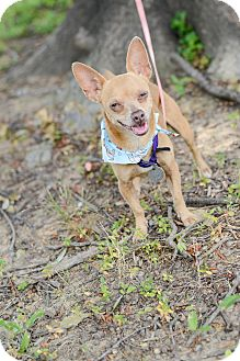 Chihuahua Mix Dog for adoption in Muldrow, Oklahoma - Boomer