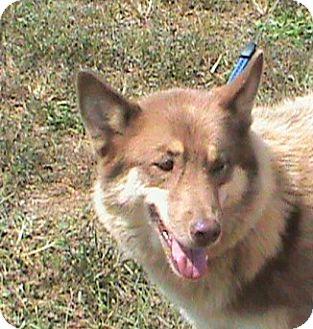 Husky/German Shepherd Dog Mix Dog for adoption in Maynardville, Tennessee - Eli