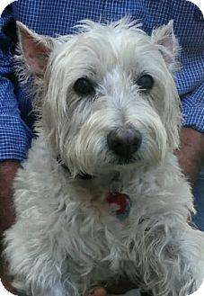 Westie, West Highland White Terrier Dog for adoption in Frisco, Texas - MADISON HAS BEEN ADOPTED