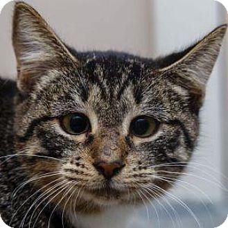 Domestic Shorthair Kitten for adoption in Decatur, Georgia - NIGHTCRAWLER