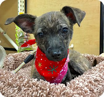 Dachshund/Chihuahua Mix Puppy for adoption in Pulaski, Tennessee - Nellie