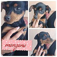 Adopt A Pet :: Manzana - LAKEWOOD, CA