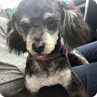Adopt A Pet :: Winnie the Poodle - Los Banos, CA