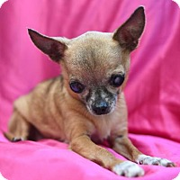 Adopt A Pet :: Ivette - Chattanooga, TN