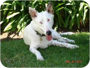 Australian Shepherd Mix Puppy for adoption in Mesa, Arizona - Mark