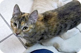 Calico Cat for adoption in Byron Center, Michigan - Belen