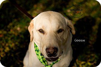 Labrador Retriever Dog for adoption in Burbank, California - Goose-Bonded pair w/ Gracelyn