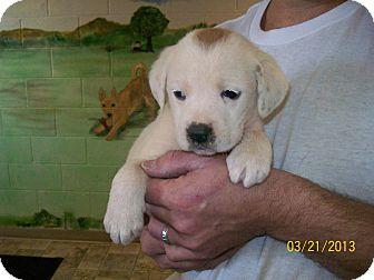St. Bernard/Hound (Unknown Type) Mix Puppy for adoption in Sudbury, Massachusetts - ELSIE - ADOPTION PENDING