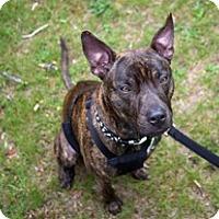Adopt A Pet :: Bartok - Framingham, MA