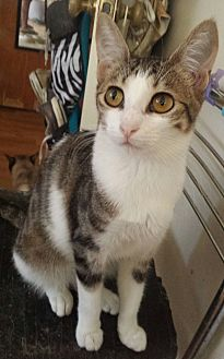 Domestic Shorthair Cat for adoption in Cerritos, California - Joni