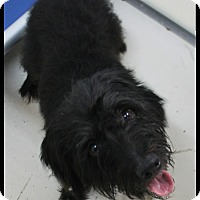 Adopt A Pet :: Francis - Rockwall, TX