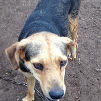 Adopt A Pet :: Bandit - Beeville, TX