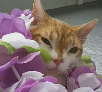 Domestic Mediumhair Cat for adoption in Oviedo, Florida - Miles