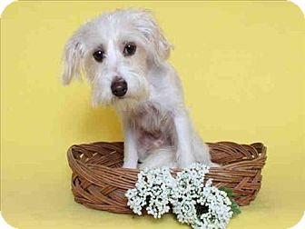 Terrier (Unknown Type, Small) Mix Dog for adoption in Encino, California - Daniel