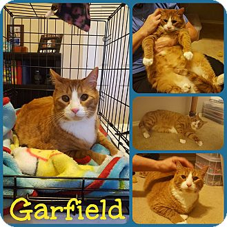 Domestic Shorthair Cat for adoption in Ft Worth, Texas - Garfield