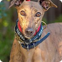 Adopt A Pet :: Girl - Walnut Creek, CA