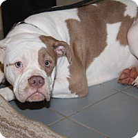 Adopt A Pet :: Nadia - Orland Park, IL
