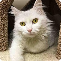 Adopt A Pet :: SNOW BUNNY - Canfield, OH