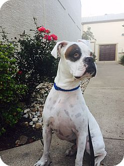 Boxer Dog for adoption in Austin, Texas - Zion