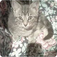 Adopt A Pet :: Simba - Montreal, QC
