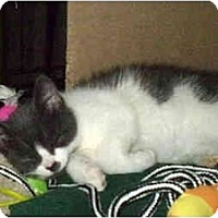 Adopt A Pet :: Bo - Boston, MA