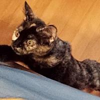 Domestic Shorthair Kitten for adoption in Morgan Hill, California - Andromeda