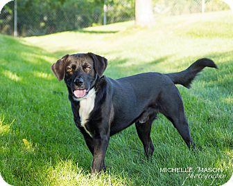Labrador Retriever/Golden Retriever Mix Dog for adoption in Naperville, Illinois - Coda